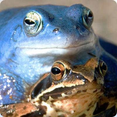 Read more about the article Jeste li znali (?): Močvarna smeđa žaba u travnju poplavi